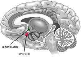 Definición de hipotálamo - Qué es, Significado y Concepto