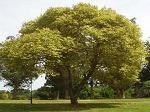 Definici n de perenne qu es significado y concepto for Ejemplos de arboles de hoja perenne