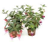 Definici n de plantas ornamentales qu es significado y for Que es un vivero de plantas ornamentales
