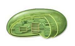 Se trata de orgánulos envueltos por membranas que albergan los tilacoides.  En estos sacos b4efc67a1cbb