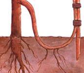 Reproduccion asexual vegetativa por acodos terrestres