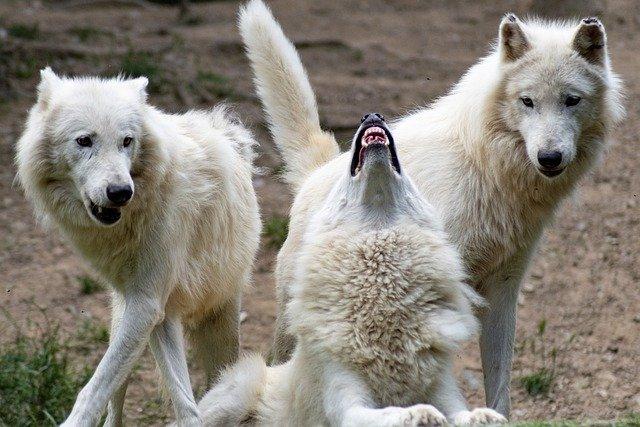 Ulular lobos