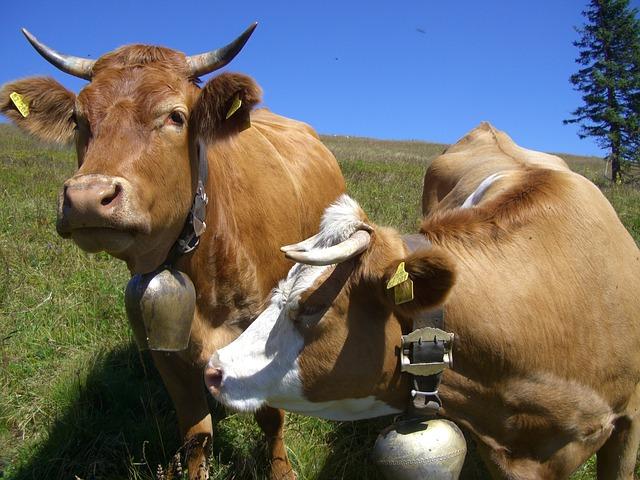 Changarro vacas
