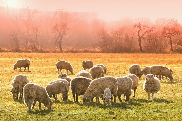 Trashumar ovejas