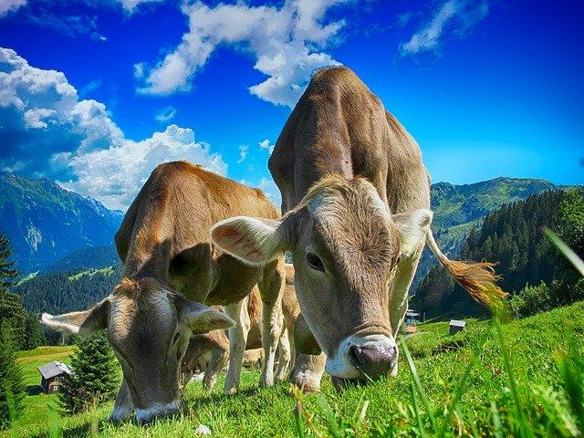 Trashumar vacas