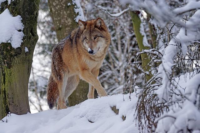 Interacción biológica lobo nieve