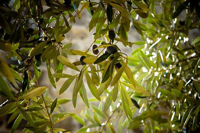 Xerófila olivo