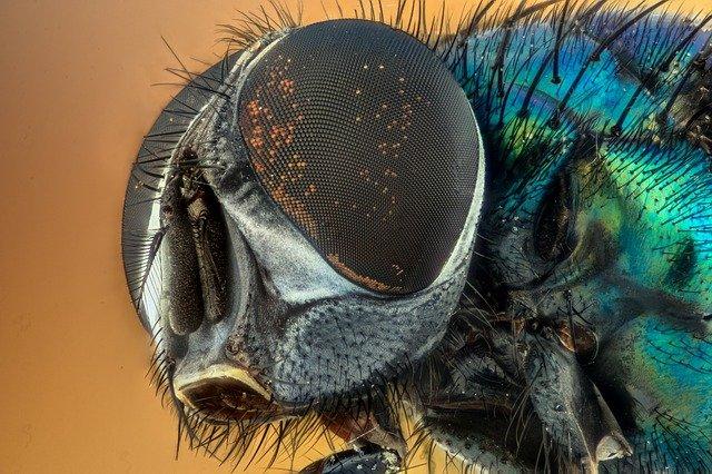 Hemolinfa mosca