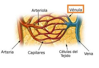 Vénulas