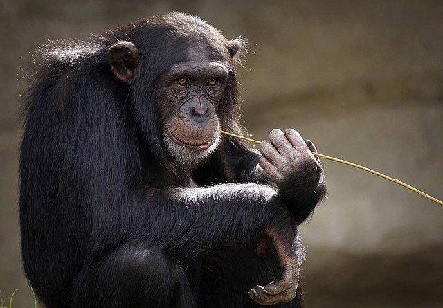 Antropopiteco chimpancé común