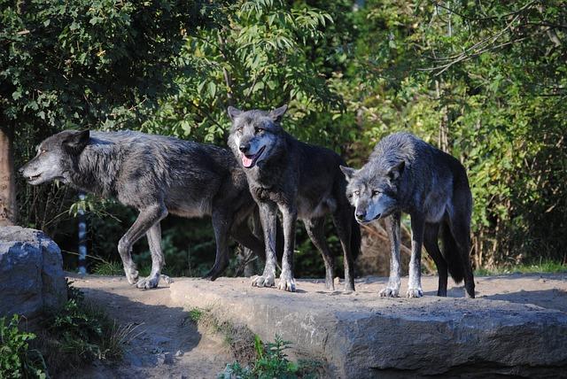 Arrear lobos depredadores
