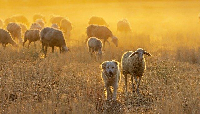 Arrear perro ovejas