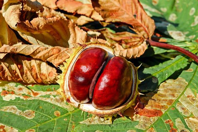 Fruto del Castanea sativa