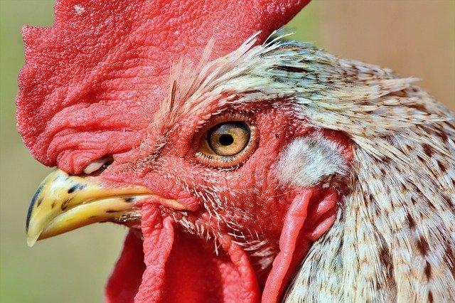 Cabeza de gallo