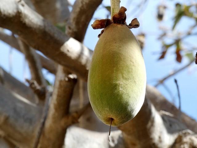Calabaza de Senegal